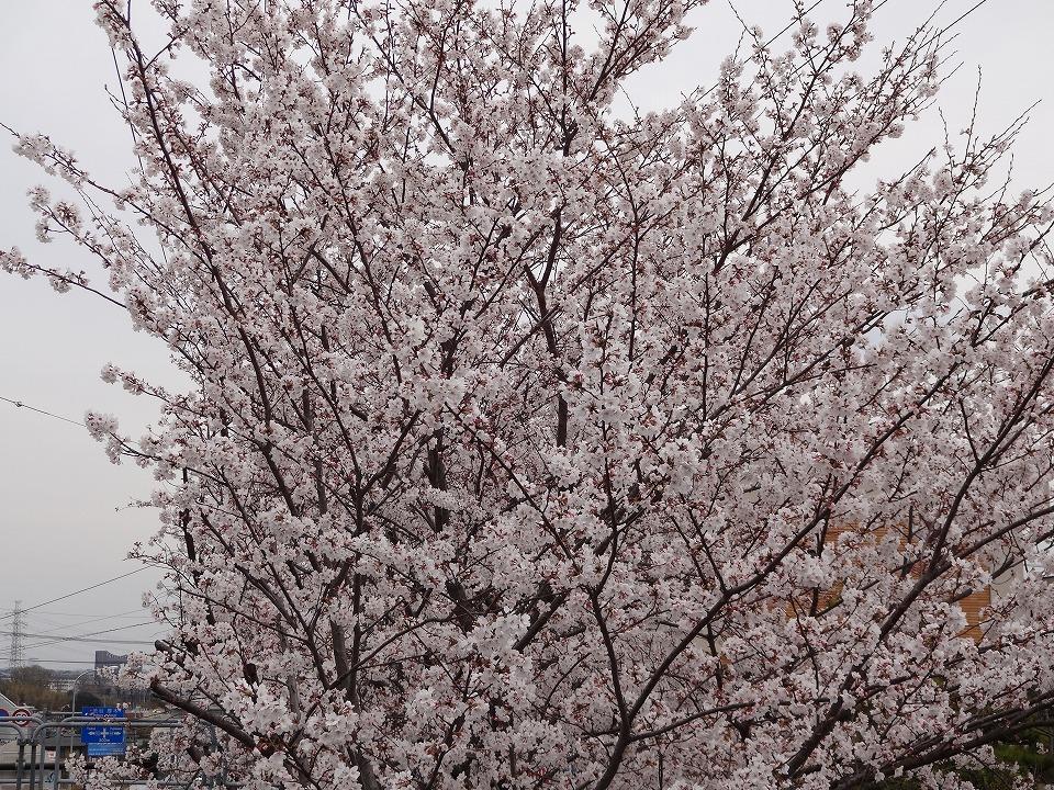 Sakura2013s